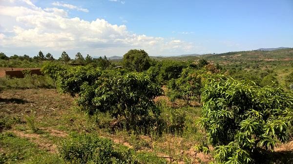 Bauerwartungsland mit Mangobäumen und Fernblick