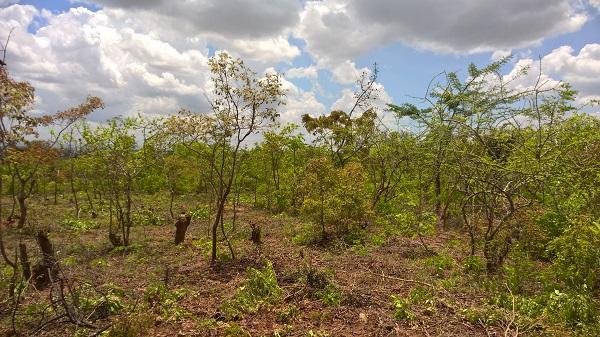 Kümmerliche Reste eine Miombowaldes