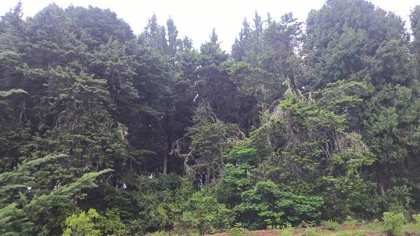 Alte Kiefernbestände auf dem Viphya Plateau