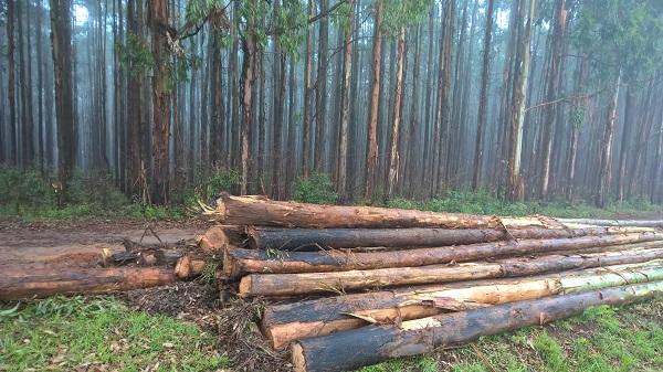 12 Jahre alte Eucalyptusplantage mit Stämmen für Leitungsmasten